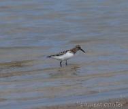 Bécasseau sanderling, delta de l\'Ebre, mai 2016