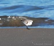 Bécasseau sanderling, Delta de l\'Ebre, décembre 2017