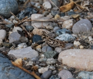 Criquet de Jago, femelle adulte, Drôme, juillet 2016