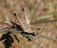 Criquet des clairières, femelle adulte, Drôme, juillet 2016