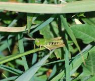 Criquet des pâtures, femelle adulte, Drôme, juillet 2016