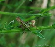 Decticelle bariolée, femelle, larve, Drôme, juin 2016