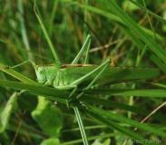 Grande sauterelle verte, adulte, mâle, Drôme, juin 2016