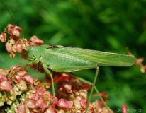 Grande sauterelle verte, adulte, mâle, Ardéche, juin 2017