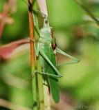 Grande sauterelle verte, adulte, mâle, Drôme, juillet 2016