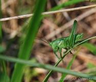 Grande sauterelle verte, larve, mâle, Drôme, mai 2018