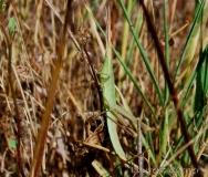 Truxale méditerranéenne, larve, Drôme, juillet 2016