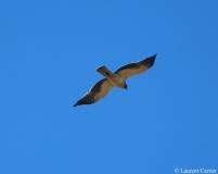 Aigle botté, Espagne, décembre 2012