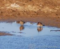 Bécassine des marais, Delta de l'Ebre, février 2012