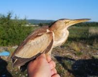 Blongios nain, femelle adulte, Drôme, août 2011