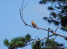 Bruant jaune, mâle, Drôme, juin 2011