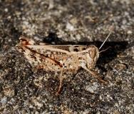 Caloptène sicilien, femelle adulte, Drôme, août 2016