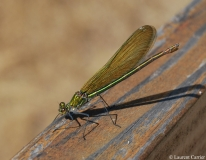 Caloptéryx éclatant, femelle, Drôme, juillet 2010