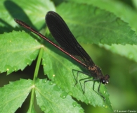 Caloptéryx hémorroïdal, mâle, Drôme, juillet 2013