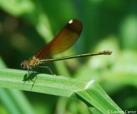 Caloptéryx hémorroïdal, femelle, Drôme, août 2011