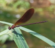 Caloptéryx hémorroïdal, mâle, Drôme, juin 2015