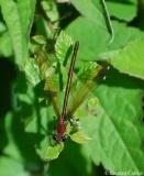 Caloptéryx hémorroïdal, femelle, Drôme, juin 2011