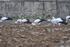 Cigogne blanche, Drôme, mars 2011