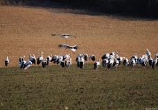 Cigogne blanche, Drôme, février 2012