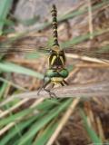 Cordulégastre annelé, femelle, Drôme, juin 2008