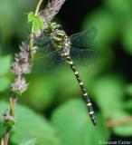 Cordulégastre annelé, mâle, Drôme, juin 2011