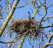 Corneille noire, oiseau en train de couver, Drôme, avril 2019