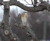 Crabier chevelu, Delta de l'Ebre, février 2012