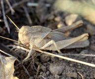 Criquet cendré, larve, Drôme, septembre 2019