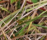 Criquet vert-échine, adulte, Drôme, août 2016
