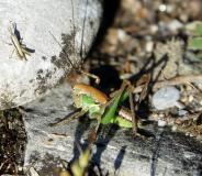 Decticelle chagrinée, larve, mâle, Drôme,  mai 2019