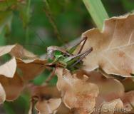 Decticelle chagrinée, larve de mâle, Drôme, juin 2016