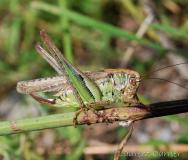 Decticelle chagrinée, femelle adulte, Drôme, juin 2018