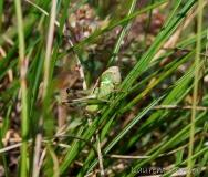 Decticelle chagrinée, larve, Drôme, juin 2018
