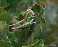 Decticelle chagrinée, larve de femelle, Drôme, juin 2016