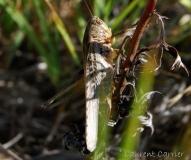 Decticelle rudérale, femelle adulte, Drôme, juillet 2017
