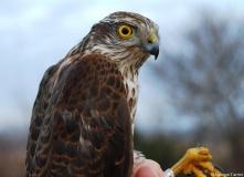 Epervier d'Europe, jeune mâle, Drôme, décembre 2011