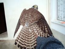 Faucon crécerelle, femelle, Drôme, janvier 2007