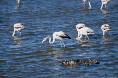 Flamant rose, adulte, Camargue, avril 2012