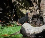 Gallinule poule d'eau, poussin, Drôme, juin 2017