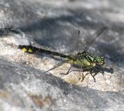 Gomphe à pattes noires, mâle, Drôme, mai 2014