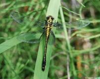 Gomphe à pattes noires, femelle, Drôme, juin 2012