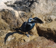 Grand cormoran, adulte en plumage nuptial,Alpes-Maritimes, mars 2016