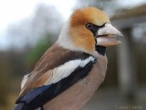 Grosbec casse-noyaux, mâle, Drôme, décembre 2017