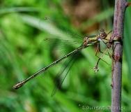 Leste vert, femelle adulte, Drôme, juillet 2017