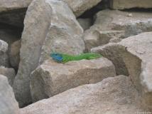 Lézard à deux raies, mâle, Drôme, mai 2010