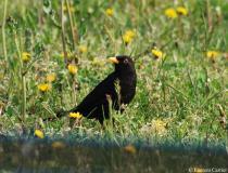 Merle noir, mâle, Drôme, avril 2014