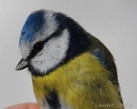 Mésange bleue, mâle, Drôme, janvier 2016