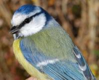 Mésange bleue, jeune mâle, Drôme, novembre 2015