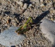Oedipode soufrée, larve, Drôme, juin 2016