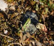Oedipode soufrée, larve, Drôme, juin 2018